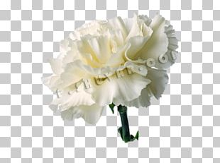 Carnation Cut Flowers Red White PNG