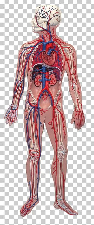 Human Anatomy Human Body Nervous System Illustration PNG