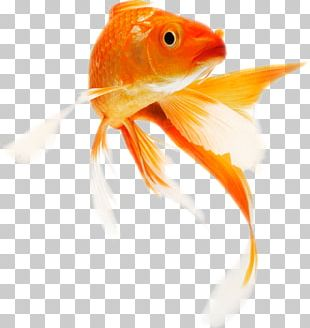 Koi Common Goldfish Portable Network Graphics Transparency PNG