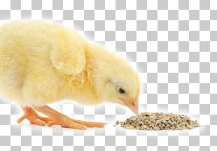 Broiler Chicken Animal Feed Additives Poultry Feed PNG