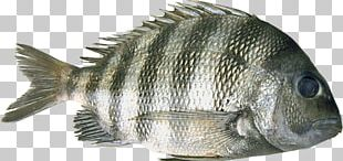 Tilapia Barramundi Perch Oily Fish PNG