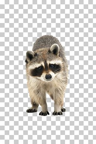 Raccoon Cuteness Icon PNG