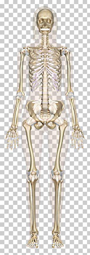 The Skeletal System Human Skeleton Human Body Bone Anatomy PNG