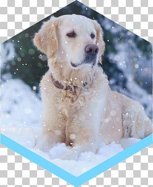 Golden Retriever Labrador Retriever Puppy Dog Breed Companion Dog PNG