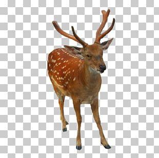 Reindeer Elk White-tailed Deer PNG