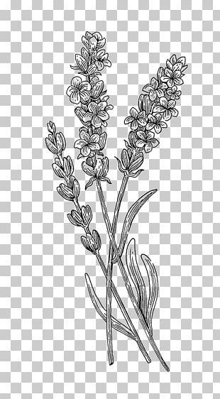 Twig Botanical Illustration Botany Plant Drawing PNG