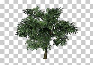 Tree Oak European Beech Populus Nigra Branch PNG