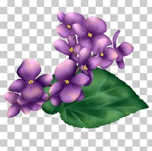 Violet Petal Herbaceous Plant PNG