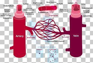 Blood Vessel Circulatory System Capillary Artery PNG