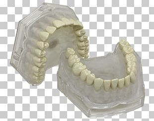 Human Tooth Typodont Jaw Dentistry PNG