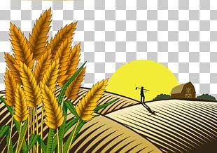 Paddy Field Oryza Sativa Farmer PNG