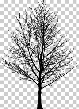 Tree Forest Sugar Maple Drawing PNG