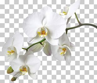 Dendrobium Orchids Boat Orchid Stock Photography Yellow PNG