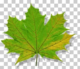 Maple Leaf Norway Maple Tree Silver Maple PNG