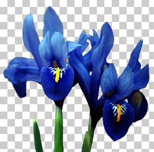 Orris Root Irises Flower Blue PNG