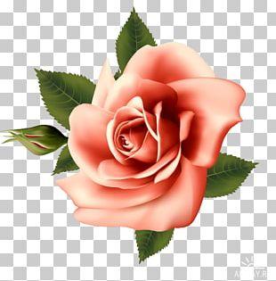 Garden Roses Centifolia Roses Floribunda Vintage Roses: Beautiful Varieties For Home And Garden Flower PNG