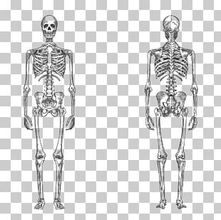 Human Skeleton Bone Human Body Anatomy PNG
