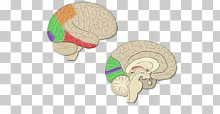 Cerebral Cortex Visual Cortex Sulcus Lobes Of The Brain PNG
