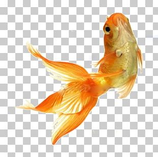 Goldfish Stock Photography Tropical Fish Feeder Fish PNG