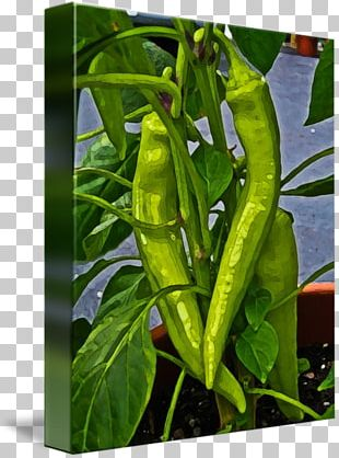 Bird's Eye Chili Serrano Pepper Pasilla Cayenne Pepper Chili Pepper PNG
