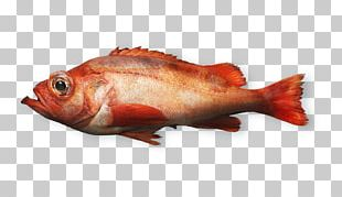 Northern Red Snapper Fish Products Rose Fish Seafood PNG