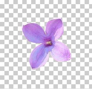 Lilac Petal Violet Flower Lilium PNG