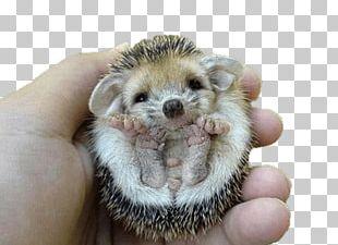 Hedgehog Flipped Over PNG
