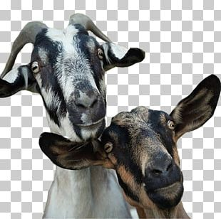 Goat Milk Goat Milk Goat Farming Cattle PNG