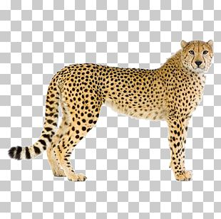Cheetah Leopard Cougar Stock Photography PNG