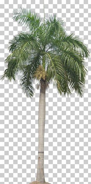 Panama Roystonea Regia Arecaceae Trachycarpus Fortunei Date Palm PNG