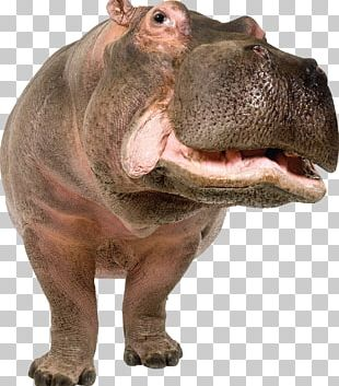 That's Not A Hippopotamus! PNG