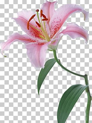 Lilium Desktop Flower Stock Photography PNG