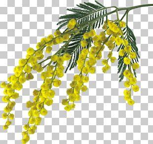 Mimosa Salad Sensitive Plant Flower Drawing PNG