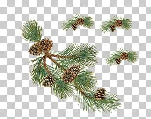 Pine Conifer Cone Christmas PNG