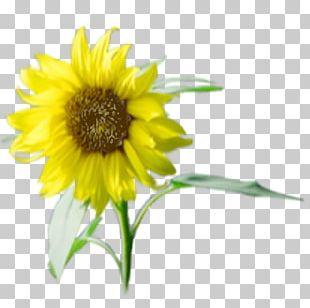 Sunflower Seed Annual Plant Sunflower M Sunflowers PNG