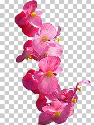 Moth Orchids Cut Flowers PNG