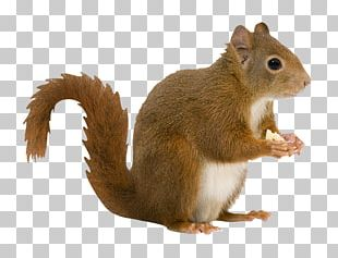 Rodent Red Squirrel Eastern Gray Squirrel Pig Tree Squirrel PNG