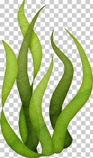Edible Seaweed Drawing PNG