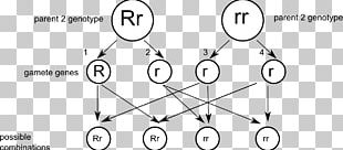Punnett Square Gamete Genetics Eterozigosi Dominance PNG