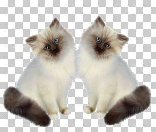 Siamese Cat Persian Cat Birman Kitten Munchkin Cat PNG