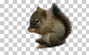 Squirrel Rodent Chipmunk Animal PNG