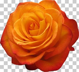 Garden Roses Beach Rose Flower Petal PNG