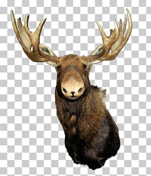 Moose Red Deer Elk PNG