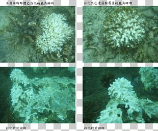 Scleractinia Coral Reef Marine Biology Coral Bleaching PNG