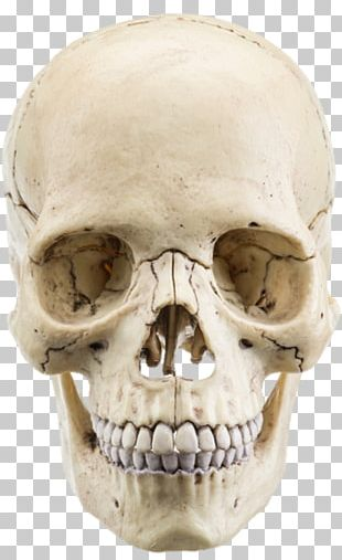 The Human Skull Stock Photography Anatomy Bone PNG