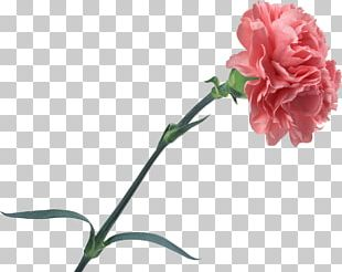 Carnation Cut Flowers Rose PNG