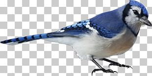 Bird Blue Jay Stock Photography PNG