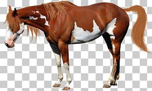 American Miniature Horse American Paint Horse Mustang National Show Horse Stallion PNG
