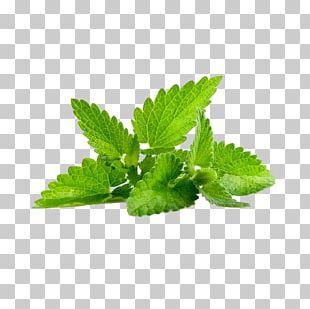 Peppermint Mentha Spicata Herb Mentha Arvensis Leaf PNG