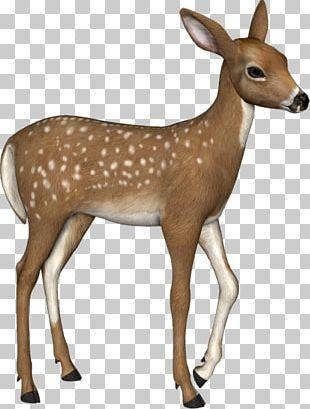 White-tailed Deer Reindeer Elk Musk Deers PNG